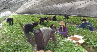 명이나물 수확 일손돕기